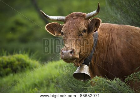 Limousine cow in the grass, Vosges, Bussang