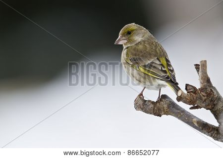 Carduelis chloris,  european greenfinch standing on a wooden branch, Vosges, France