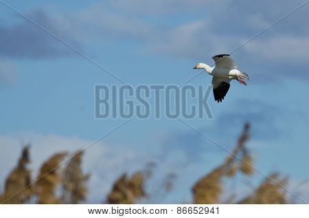 Lone Snow Goose Landing In The Marsh
