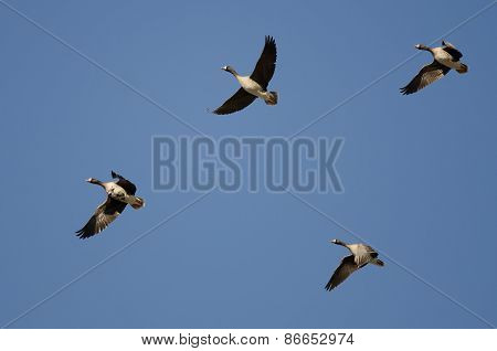 Four Greater White-fronted Geese Flying In A Blue Sky