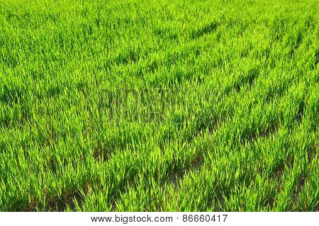 Background From A Green Grass In The Field