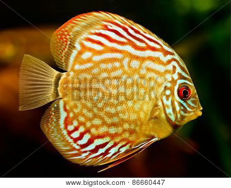 Discus fish (Symphysodon) swimming underwater