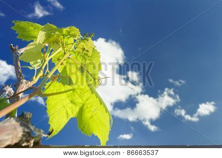 Flower Buds Breaking Of Cultivated Grape Vine