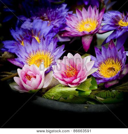 Lotus Multicolored. Many Colorful Lotus Flowers In Earthen Basins
