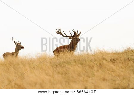 Big Stag On The Hill