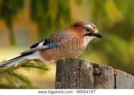 Eurasian Colorful Jay