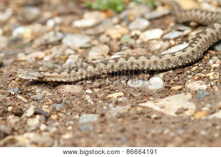 European Horned Viper On Gravel