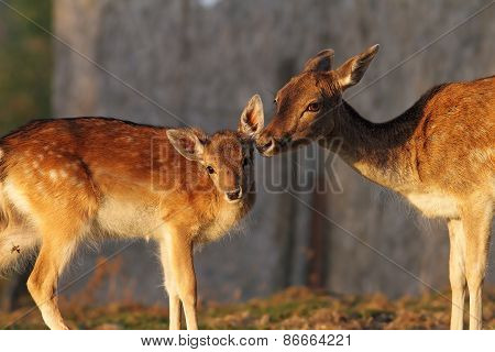 Fallow Deer Doe And Her Baby