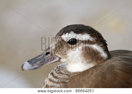 Female Mandarin Duck Portrait