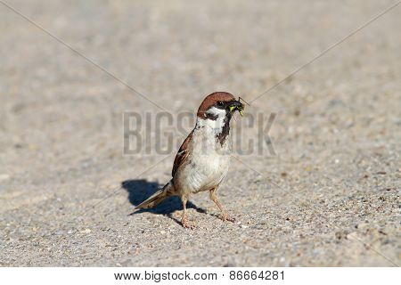 House Sparrow Catching A Grasshopper