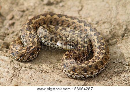Hungarian Meadow Viper Closeup