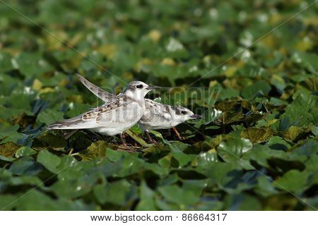 Juveniles Whiskered Tern