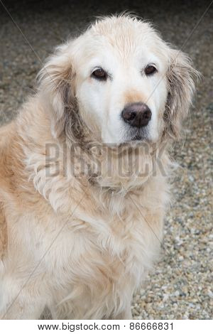 Labrador Retriever Dog Is Wet And  Looks Sad Eyes