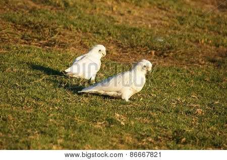 Cockatoo's on a grassy hill.