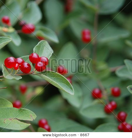 Berry Berry Red