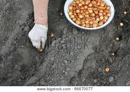 Farmer Planting Onion