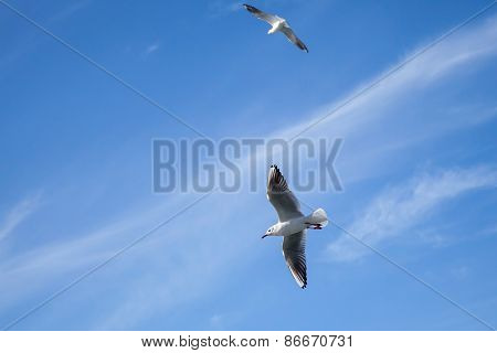 Two White Seagulls Flying On Blue Cloudy Sky