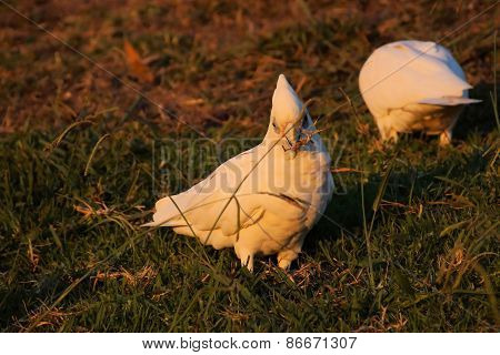 Cockatoos eating on grass.