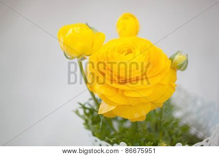 Yellow persian buttercup flowers (ranunculus) on wooden background.