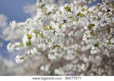 the spring in the garden - flourishing fruit trees