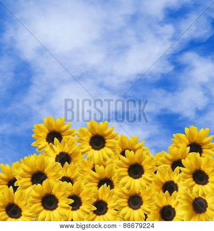 Many Sunflowers And Blue Sky With Clouds
