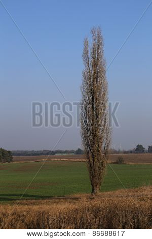 High Poplar And Field