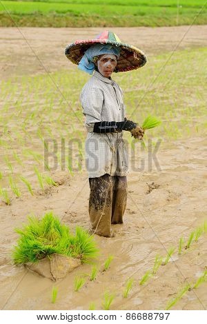 Daily Living In Indonesia, Rice Workers