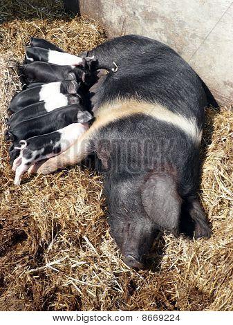 Farrow pig