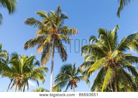 Forest Of Coconut Palm Trees Over Blue Sky Background