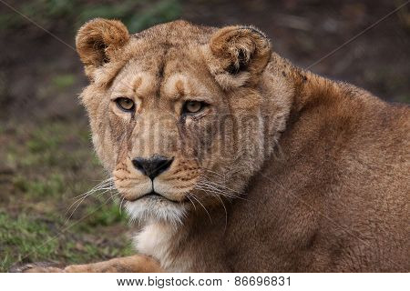 An alert Barbary lioness