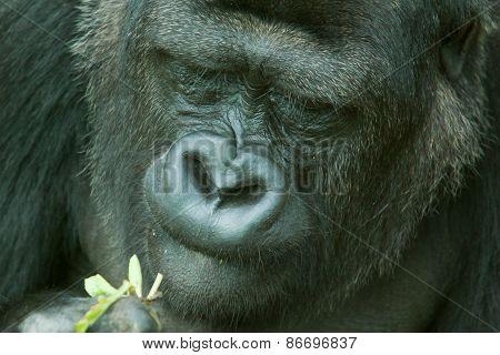 female low land gorilla