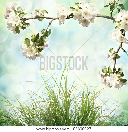 Apple tree blossoms and fresh green grass