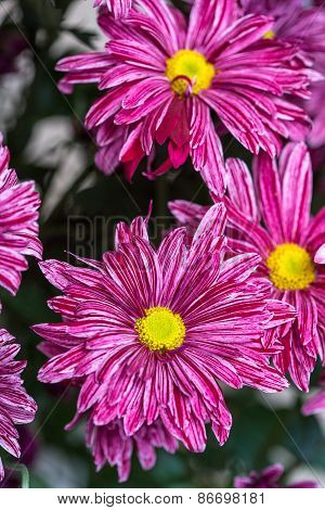 red Chrysanthemum flower in the garden