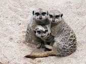 foto of meerkats  - A group of hree Meerkats sitting in sand together - JPG
