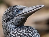 picture of gannet  - Portrait of a young Gannet with dark feathers - JPG