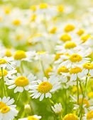 foto of chamomile  - White wild chamomile flowers in the meadow - JPG