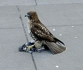 stock photo of claw  - Hawk on a city sidewalk with a dead bird under its claw