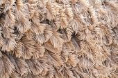 pic of ostrich plumage  - Brown feather ostrich close up texture as background - JPG