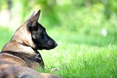 pic of belgian shepherd  - dog belgian malinois lies on green grass - JPG