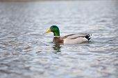 stock photo of male mallard  - mallard male swimming on a lake - JPG