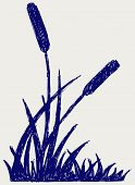 stock photo of bulrushes  - Plant bulrush - JPG