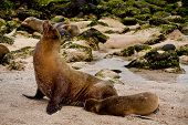 stock photo of sea lion  - Portrait of cute brown sea lion with baby in San Cristobal - JPG