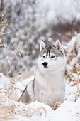 stock photo of husky sled dog breeds  - purebred siberian husky dog in winter portret - JPG