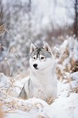 pic of husky sled dog breeds  - purebred siberian husky dog in winter portret - JPG