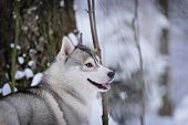 foto of husky sled dog breeds  - siberian husky dog gray and white winter portrait - JPG