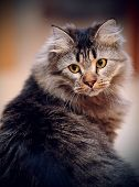 picture of puss  - Portrait of a fluffy striped domestic cat - JPG