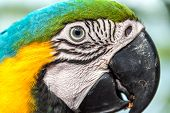 image of rainforest animal  - Closeup view of the face of a Blue and yellow Macaw in the Amazon rainforest of Brazil - JPG