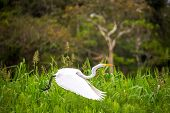 stock photo of rainforest  - View of a great white heron taking off in the Amazon rainforest in Peru - JPG