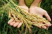 picture of food crops  - World food security a global problem famine at africa children need to help poor people need food to live kid hand with sheaf of paddy on Asia rice field - JPG