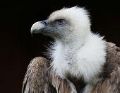 foto of aerobatics  - vulture portrait - JPG